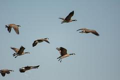 Canada Goose (Branta canadensis) (ekroc101) Tags: birds canadagoose brantacanadensis bc delta reifelmigratorybirdsanctuary
