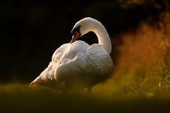 Cappuccino (Jonathan Casey) Tags: swan mute d810 200mm f2 vr nikon preening