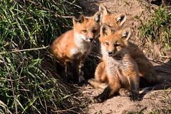 2015 05 28_IMG_5894 (Scott Weberpal) Tags: coyote nature animals wisconsin canon photography wolf wildlife den madison fox milwaukee redfox vulpesvulpes 100400 70d foxpups foxkits