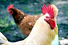 Cock and Co (Emil de Jong - Kijklens) Tags: red chicken kip rooster rood haan pluimvee
