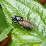 Cheilosia albitarsis - a female so agg. thumbnail