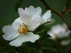 candore spontaneo (fotomie2009) Tags: wild white flower rose flora rosa wildflower fiore dogrose spontaneous canina spontaneo