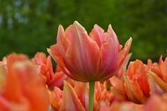 tulip no.1 (Jilles van Schelt) Tags: flowers summer netherlands colors licht spring nice nikon different nederland tulip mooi mm 1855 bloemen keukenhof tulpen d3200