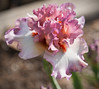 Pink & White Iris (gtncats) Tags: park pink iris white flower nature outside outdoor macrolens ef100mm irispark canon70d photographyforrecreation infinitexposure