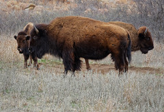 Bison Family (CThomasCaldwell) Tags: bison ef24105f4is witchitamountainswildliferefuge 5dmk3 animalsmammalsandbirds