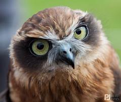 Boobock Owl - Explored 09/06/2015 #134 (philrdjones) Tags: august brisbane owl birdofprey 2014 congresbury northsomersetbirdofpreycentre boobock