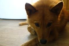 Anglų lietuvių žodynas. Žodis spitz reiškia vok. n špicas (šunų veislė) lietuviškai.