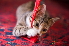 Kitten Playing with Red Lint (grobler.inus) Tags: red pet playing cute animal cat fur carpet photography kitten feline irene lint playful fotoinusgrobler
