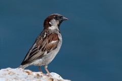 Stand Proud (Luis-Gaspar) Tags: bird portugal animal iso100 nikon sparrow ave oeiras f56 housesparrow passerdomesticus 1500 passaro pardal d60 pardalcomum 55300