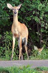 A Shy One (+David+) Tags: deer songbird pond shy