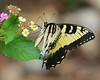 AFC_4097_8x10 (thorntm) Tags: butterfly tigerswallowtail autofocus flickrestrellas nikond800 mdtpix contactgroups t16071401
