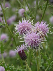 Thistles (bryanilona) Tags: thistles wildflowers meadow parkhead dudley blackcountry fantasticflower