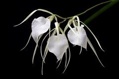 Brassavola nodosa (peterb1504) Tags: orchid flower blossom orchidee brassavola nodosa