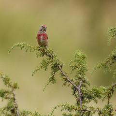 Surveillance (Mariette80) Tags: fignires linottemlodieuse oiseaux