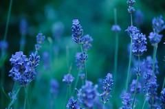 Lavender's blue longing - 2 ... (*PussyCat*) Tags: blue flower green nature colors garden flora poetry bokeh vibrant lavender blumen colori tone lavanda