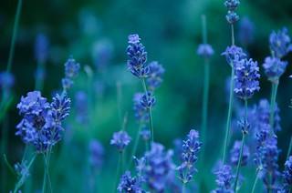 Lavender's blue longing - 2 ...