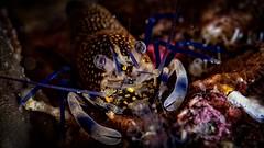 P5168584 (Jeannot Kuenzel) Tags: leica blue sea macro water port photography mediterranean underwater alien under deep scuba diving olympus malta zen supermacro moods asph f28 45mm underwaterworld s2000 dg 240z underwaterphotography extrememacro ois jeannot inon macroelmarit underwatercreature kuenzel z240 maltaunderwater underwatermacro underwateralien supermacrophotography ucl165 wwwjk4unet jk4u epl5 maltaunderwatermacro maltaunderwaterphotography bestmaltaunderwaterpictures maltamacro maltascubadiving underwatersupermacro jeannotkuenzel aliensofthedeepblue superextrememacro aliensofthesea