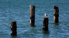 outpost (Keith Midson) Tags: seagull bird perched bridport birdport pier oldpier tasmania ocean sea water post