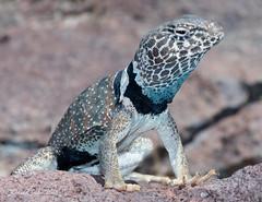 Great Basin Collared Lizard (Crotaphytus bicinctores) (David A Jahn) Tags: great basin collared lizard crotaphytus bicinctores nevada brave basking