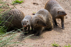 _MG_5120 (emilhallengren) Tags: park animal zoo mongoose herbivore bandedmongoose bors borsdjurpark