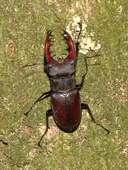 Lucanus cervus (Linnaeus, 1758) (CONDAMARTA, Flora e Fauna de Galicia) Tags: galicia insect lucanuscervus coleoptera lucanidae