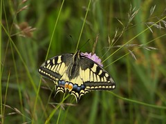 Schwalbenschwanz [ Old world swallowtail ] [ Makaonfjril ] ( Papilio machaon ) (ritschif) Tags: butterfly natur makro schwalbenschwanz papiliomachaon oldworldswallowtail makaonfjril tagfalter edelfalter ritterfalter dagfjrilar