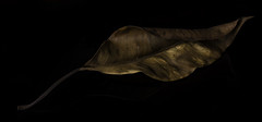 Shapes And Shadows In An Old Leaf (Bill Gracey) Tags: old color reflection nature blackbackground composition leaf shadows shapes magnolia weathered softbox perspex sidelighting warmcolors filllight directionallight offcameraflash yongnuorf603n yn560iii
