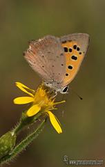 Lycaena phaleas en altabaca (Lucas Gutirrez) Tags: lycaenaphaleas altabaca poqueira laalpujarra pampaneira granada mariposas licnidos lucasgutierrezjimenez macrofotografa