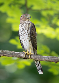 Épervier de Cooper - Accipiter cooperii - Cooper's Hawk