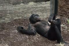 gecheckt (fdfotografie) Tags: gecheckt tiere sugetiere fauna primaten affe bonobo schwarz braun ocker beige tageslicht kunstlicht mischlicht availablelight indoor dslr color landscapeformat blickindiekamera liegend entspannt gelassen gechillt zoo frankfurt kfig glas trennscheibe