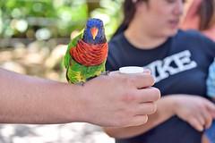 San Diego Safari Park Lorikeet (GMLSKIS) Tags: sandiego safaripark california lorikeet bird nikond750