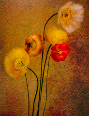 Spring Poppies.jpg (geoffreyhowe) Tags: flowers poppies stillife
