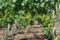 ckuchem-1449 (christine_kuchem) Tags: ahrtal anbau anbaugebiet eifel felsen schiefer schieferfelsen sommer weinanbau weinberg weintraubenanbau weintrauben