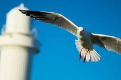 IMG_6299-2 (gsreejith) Tags: silvergull inflight birds birdinflight blue sky