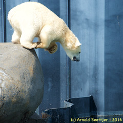 ijsberen_02 (Arnold Beettjer) Tags: wildlands emmen dierenpark dierentuin dierenparkemmen ijsbeer ijsberen polarbear