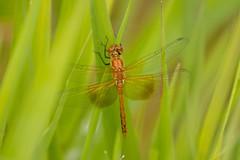 7K8A3910 (rpealit) Tags: scenery wildlife nature east hatchery alumni field hackettstown immature male bandwinged meadowhawk dragonfly