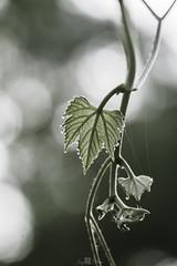 Veins of a Vine Leaf (Jay  Den (Jayarr Denson)) Tags: nikond7100 100mmf28tokina nature vine vines veins leaf bokeh water drops art waterdrops leafveins macrounlimited marco