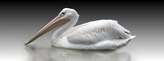 milkyway (Mel's Looking Glass) Tags: pelican milky water bird waterfowl animal white