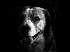 Hiding in the shade (Petr Horak) Tags: dog bw blackandwhite monochrome lowkey beagle portrait petnovknnstedoeskkrajczechiacze