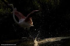 Great Flamingo (Phoenicopterus roseus) - www.paolomeroni.com (www.paolomeroni.com) Tags: fenicotterorosa phoenicopterusroseus greaterflamingo ngc nikonflickraward iucn wwwpaolomeronicom paolomeroni wildlife wildlifephotography fotografianaturalistica nature naturewatcher camargue travel explore trekking walk france