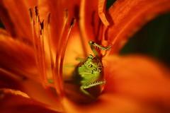 Sweet home ( Mikica Kosanovi ) Tags: macro helios 50mm innamoramento ngc brilliant wow grasshopper
