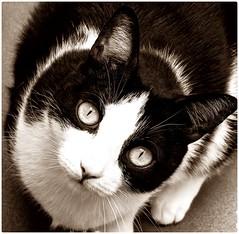 Por Osiris! Qu ven mis ojos! (Egg2704) Tags: gato gatos cat cats felino felinos animal animales animalia naturaleza egg2704 blancoynegro byn bw sepia