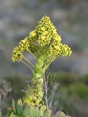 Aeonium arboreum (bathyporeia) Tags: france corse corsica crassulaceae aeoniumarboreum hanshillewaert