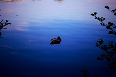 Solitude Duck (AlexTobias84) Tags: lake water wales photography duck solitude