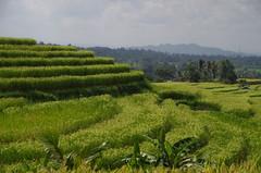 2015-05-16 Bali 100 (louisvolant) Tags: bali jatiluwih jatiluwihricefields