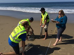 ESRM sandy beach monitoring El Capitan State Beach 05-20-15c