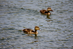 In Sync 5 (LongInt57) Tags: family blue orange baby brown lake canada black green nature water yellow swimming reflections reflecting pond babies bc okanagan wildlife families floating chicks kelowna wetland mallards