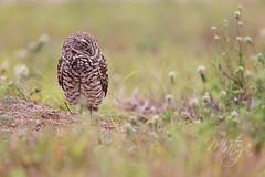 Sleepyhead (* mateja *) Tags: usa bird field grass animal fauna landscape florida outdoor sleep depthoffield sleepy burrowingowl mateja