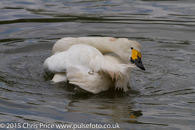 Whooper Swan at Arundel WWT