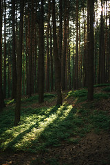 Blueberry forest (minu_minu) Tags: nature priroda forest blueberry bilberry bushes sunset sun magical magic atmosphere